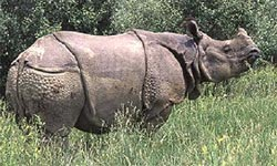 one horned rhino nepal